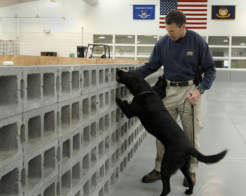 Image of an ATF Agent and black lab checking a wall during training