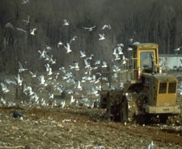 Picture of Seagulls landing on a Bulldozer