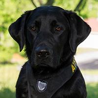 Imagen de un perro labrador negro